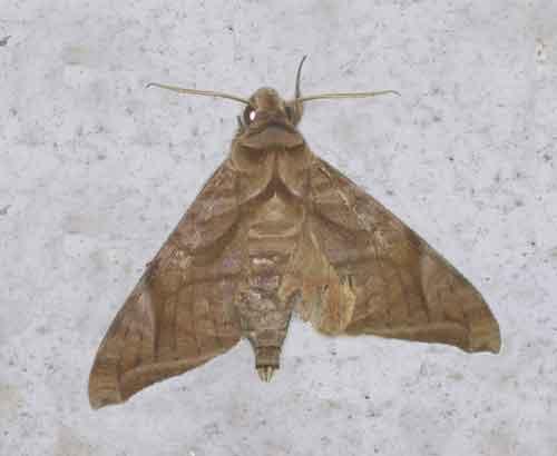 Acosmeryx naga