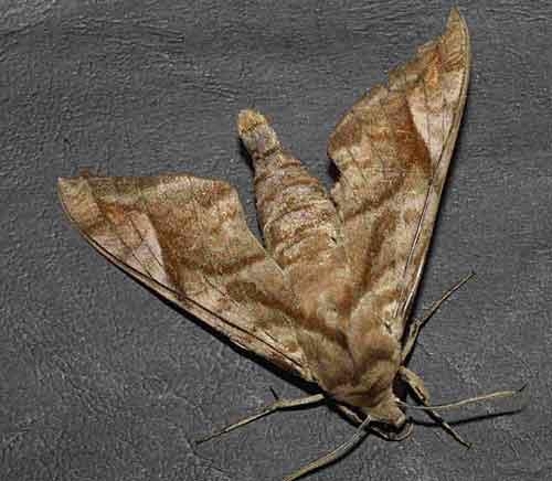 Acoxmeryx naga naga