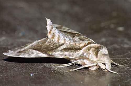 Acoxmeryx naga naga 2