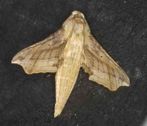Eupanacra sp probably malayana