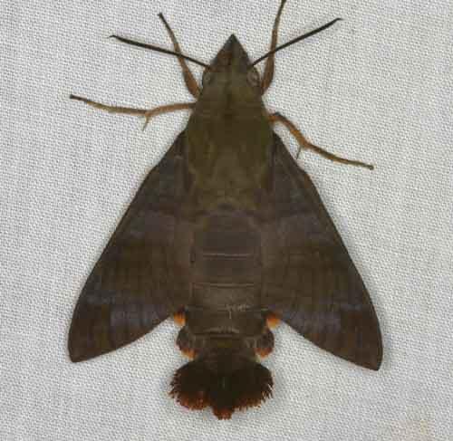 Macroglossum heliophila