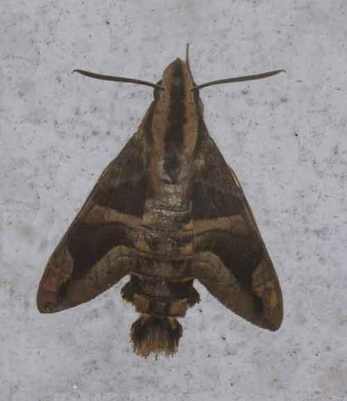 Macroglossum mitchellii imperator