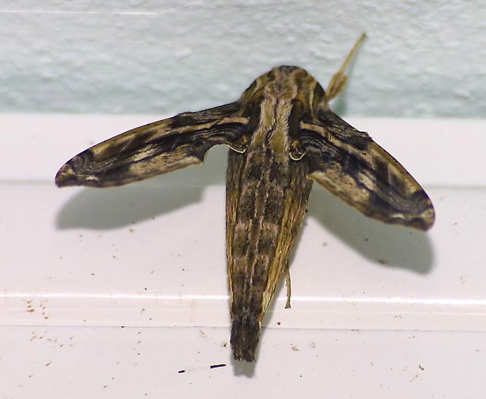 Eupanacra variol