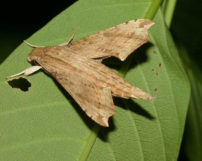 Eupanacra elegantulus  IMG_1398