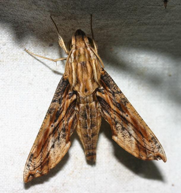 Eupanacra variolosa IMG_1340