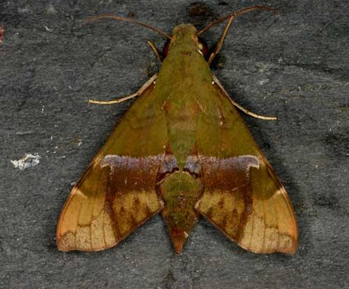 Angonyx testacea (well worn)