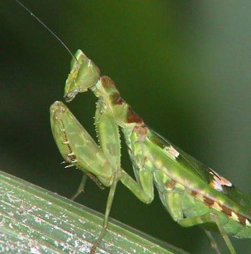 Hymenopodidae Creoboter sp