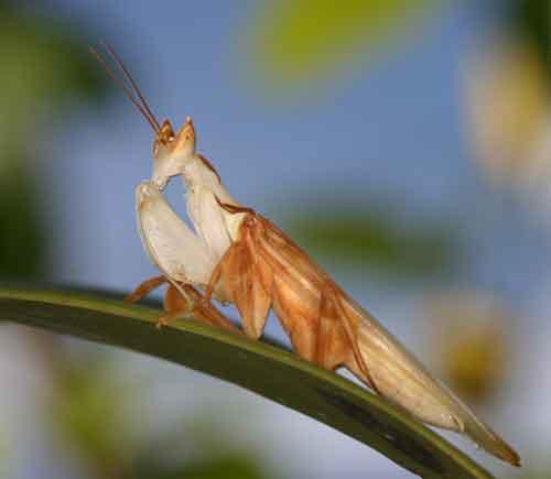 Hymenopus coronatus  m