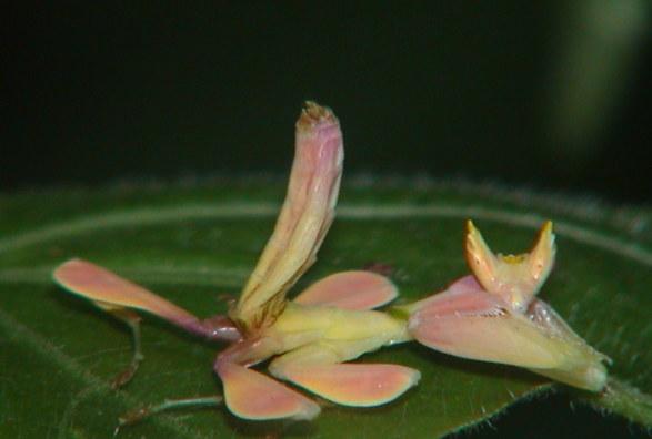 Hymenopus coronatus 3