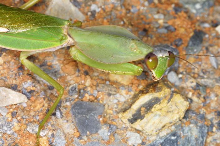 Mantidae Rhombodera basalisles 1