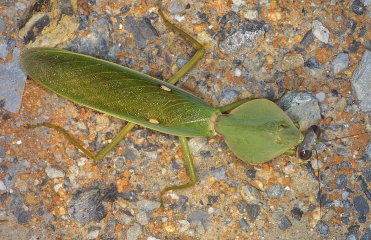 Mantidae Rhombodera basalisles