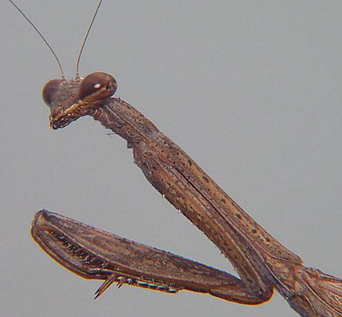 Mantidae Tenodera sp.