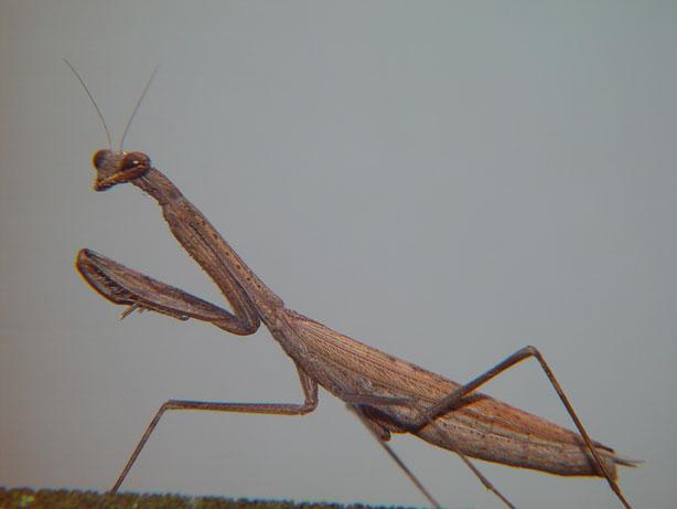antidae Tenodera sp.