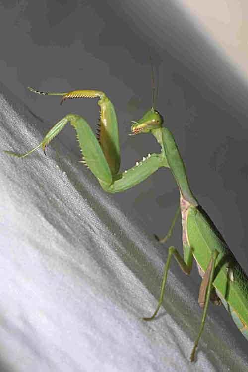 Mantidae Hierodula sp.