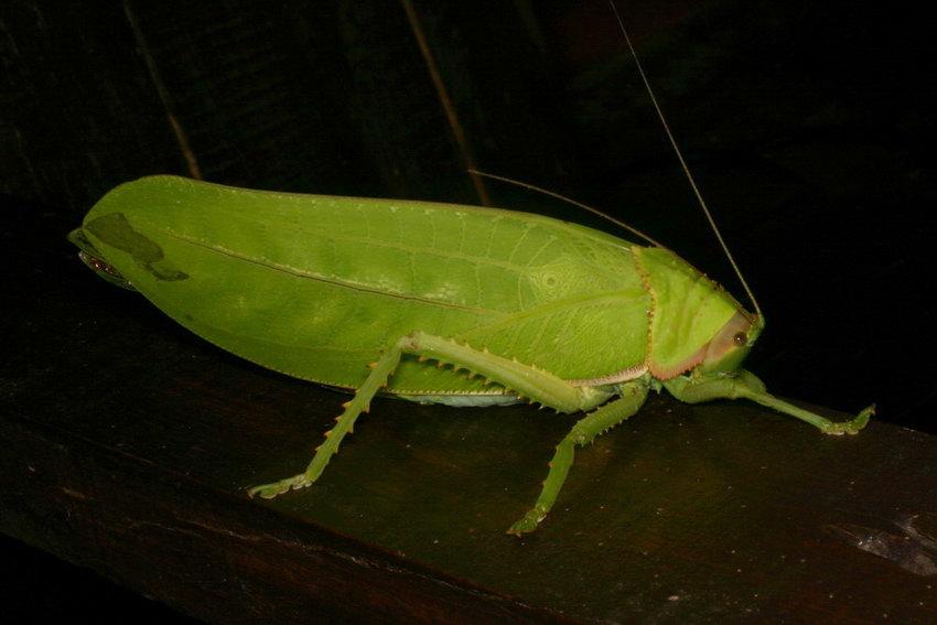 Katydid Tettigoniidae IMG_1239