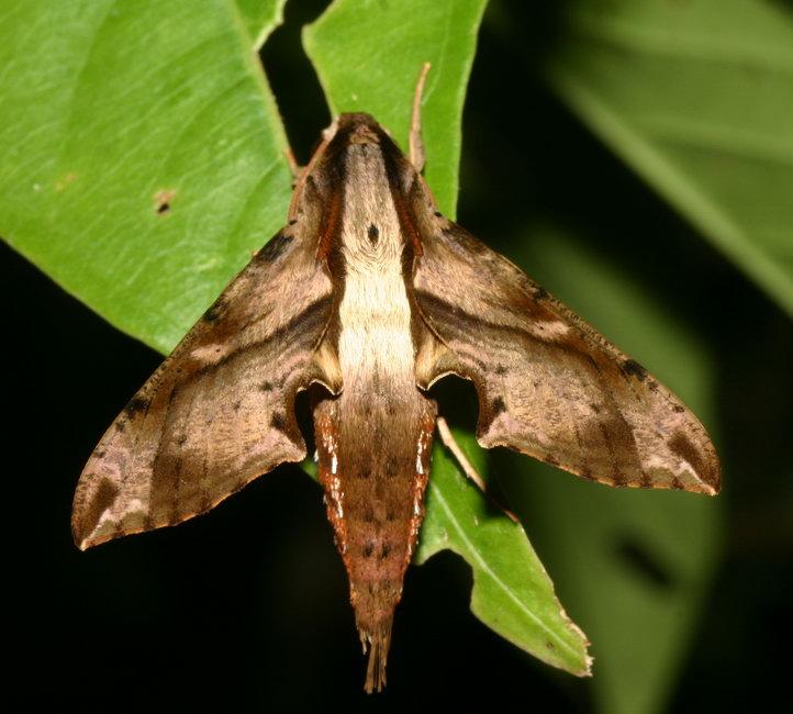 Eupanacra sp.