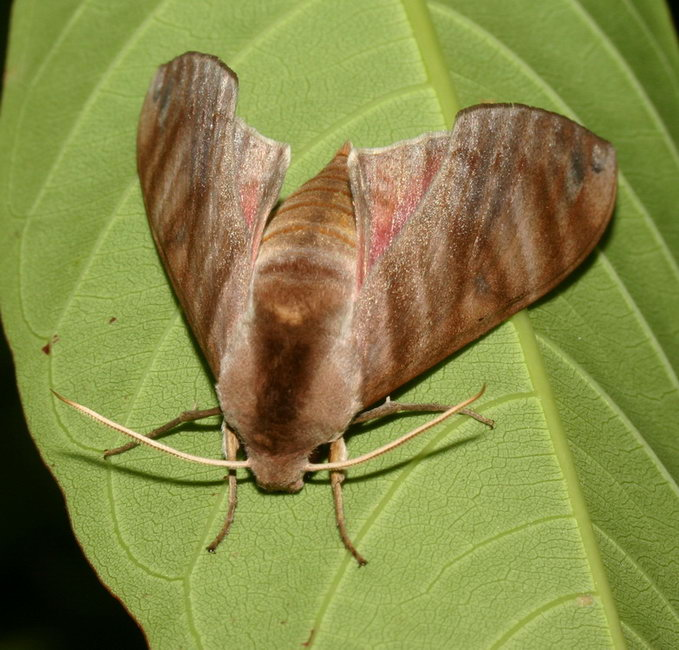 Ampelophaga rubiginosa IMG_1371