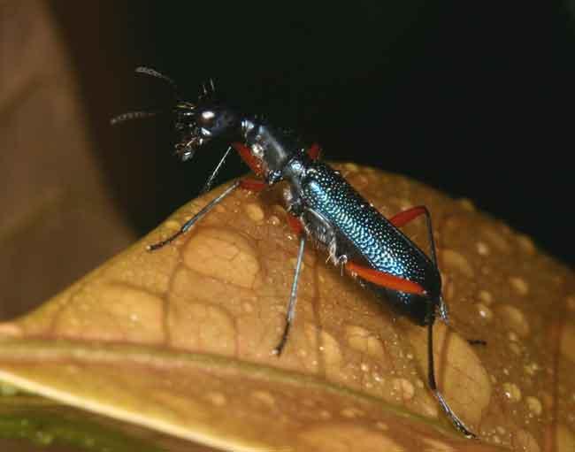 tiger beetle (Neocollyris?)