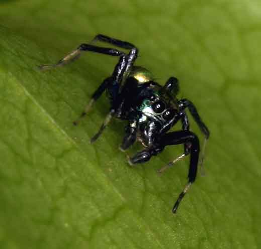 scary spider- fortunately only a millimeter or two long