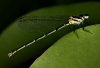 the same damselfly