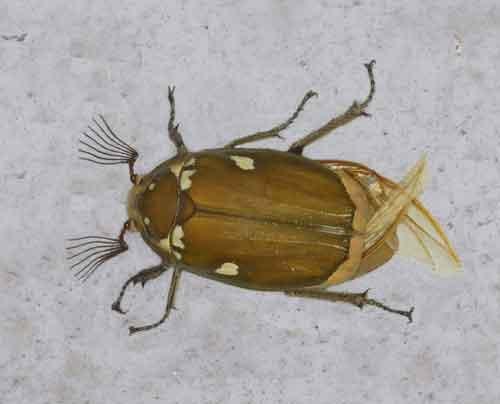 Melolontha maculata