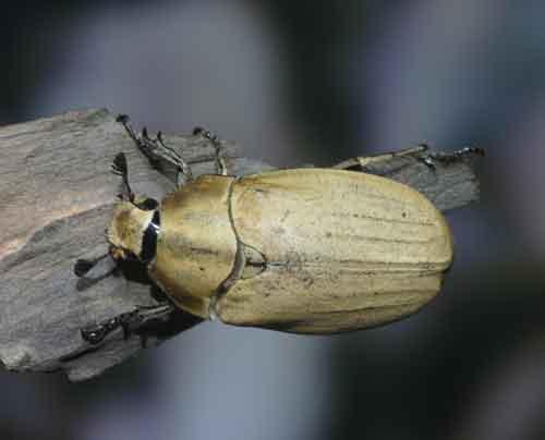 Melolontha nepalensis