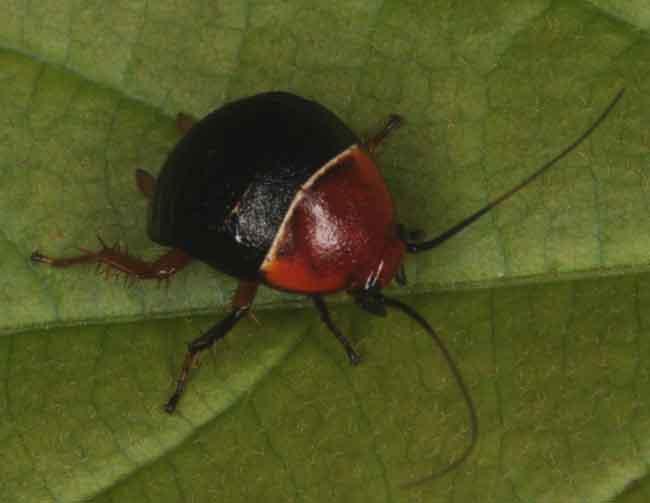 Blattoptera (Cockroach)