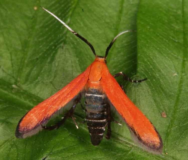 Oecophoridae, Stathmopodinae - maybe Atkinsonia sp.