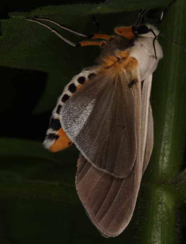 Creatonotos transiens (Noctuidae, Arctiinae, Arctiini)