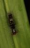 Olene mendosa, Lymantriidae, early larval stage