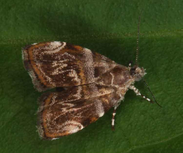 Choreutidae; Choreutis sp. probably orthogona