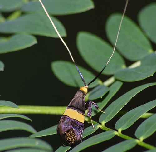 Nemophora sp Adeliea