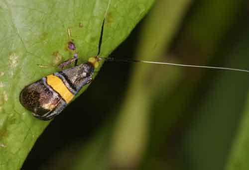 Nemophora sp 1 Adeliea