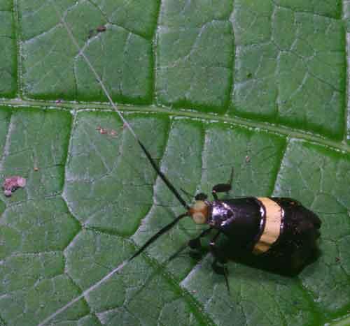 Nemophora sp 2 Adeliea