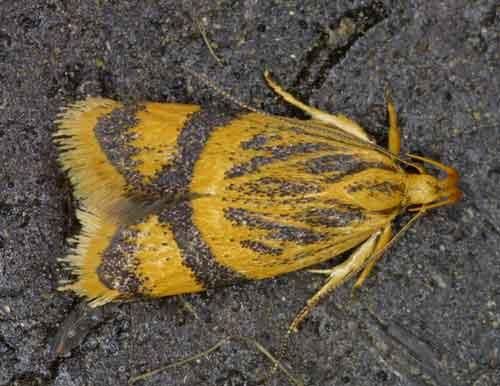 Periacma sp (Gelechiidae)