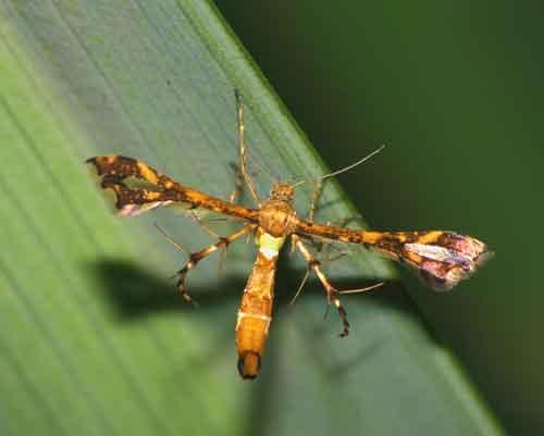 Pterophoridae 1