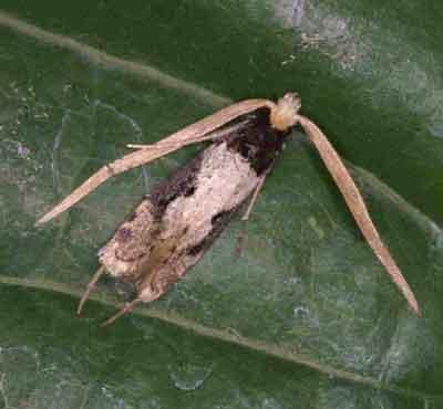 Thisizima sp. (close to ceratella (Tineidae)