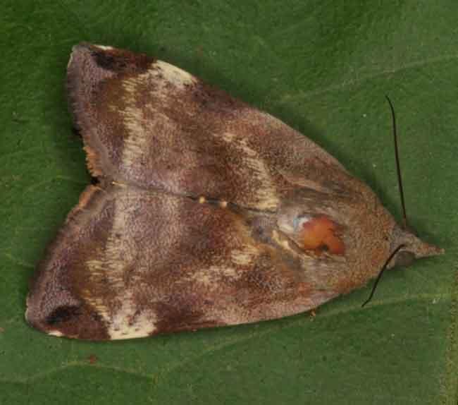 hyblaea-species1