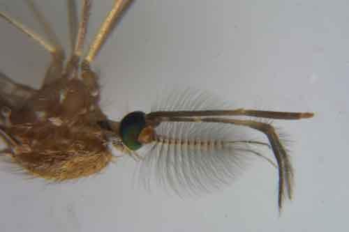 mosquito portrait