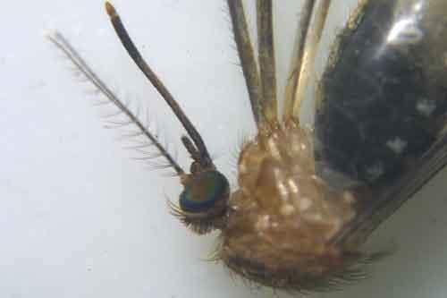 mosquito again