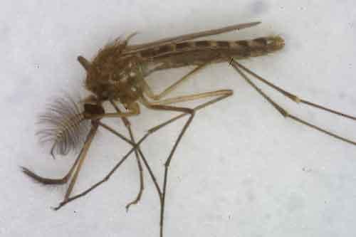 mosquito again 2