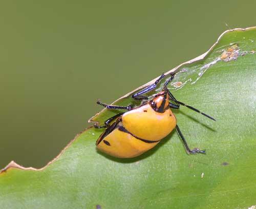 scutelleridae)! 1