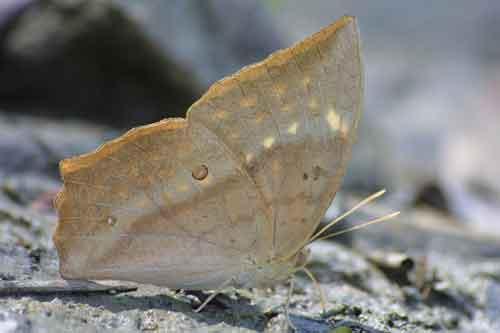 Discophora timora 1