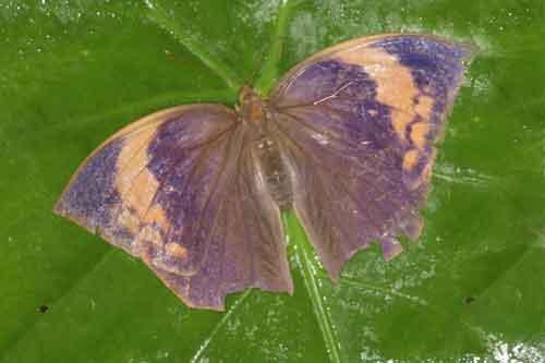 Discophora timora