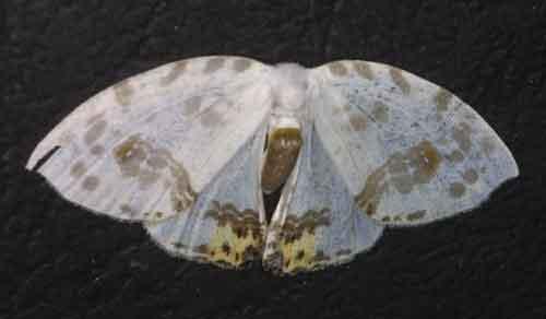 Auzata or Macrocilix species