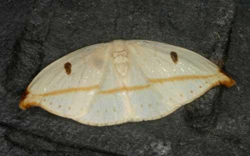 Callidrepana sp