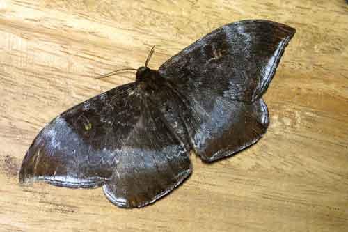 Cyclidia orciferaria