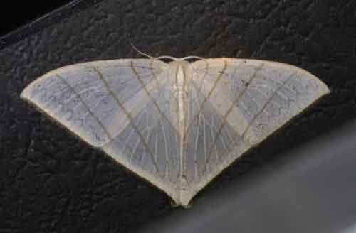 Ditrigona triangularia