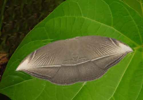 Microblepsis leucosticta 1