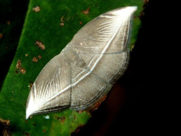 Microblepsis leucosticta
